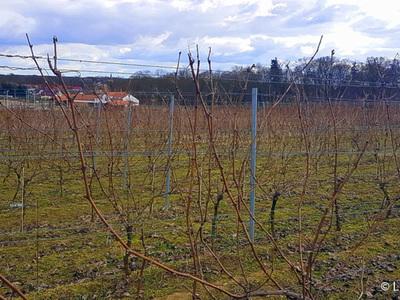 Samorządowa winnica w Zaborze jest największą winnicą w Polsce.