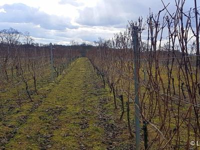 Właściwym momentem na przycinanie krzewów winorośli jest koniec lutego i początek marca. Przy obecnej pogodzie jest to już ostatni dzwonek na tego typu zabieg. Ale uwaga! Należy jednak unikać cięcia przy dużym mrozie